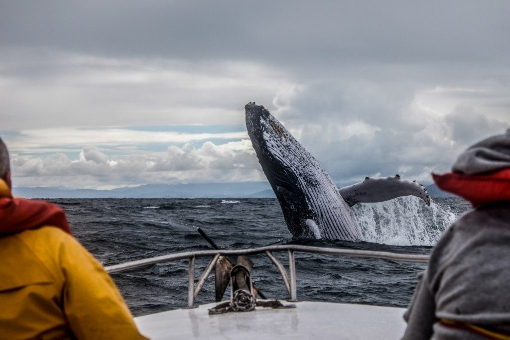 Whale jump seen from boat